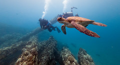 Turtle on Mala Pier (Corey Hamilton) Tags: turtle carthagian maui scubadiving shipwreck underwater