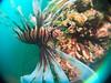 Bug eyed lionfish (PacificKlaus) Tags: philippines negrosoriental dauin negrosisland scuba diving underwater ocean underwaterphotography salayabeachhouses macro sanmiguel bugeyelens lionfish