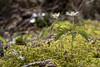 Buschwindröschen - Anemone nemorosa (Jo&Ma) Tags: farben grün schweiz alpen closeup makro nahaufnahme outdoor weiss waldblume wiese waldrand wiesenblume verblüht natur magerwiese kraut knospe garten frühling botanik blüte blume blühen bestäubung aufblühen gelb