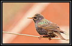 """Line of Duty..."" (NikonShutterBug1) Tags: nikond7100 tamron18400mm birds ornithology wildlife nature spe smartphotoeditor birdfeedingstation bokeh starling"