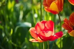 Sonnende Tulpe (I-Like-My-Fotos-RAW) Tags: rot red tulips tulpe tulpen nature natur bokeh digital canon eos200d light licht grün green plant plants pflanze pflanzen blume makro hell 2018 april