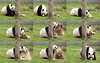 Mei Xiang (Sack it to me!) 2018-04-12 at 8.33.25–.38.55 AM (MyFoto:)) Tags: ccncby panda endangered vulnerable meixiang smithsonian nationalzoo eating biscuit sack