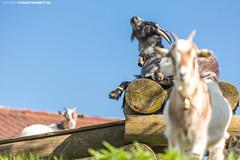 Ziegen in Oberschwaben #1 (PADDYSCHMITT.DE) Tags: oberschwaben oberschwabenländle ziegen ziege bock tiere frühling