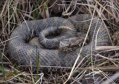 Eastern Massasauga Rattlesnake (Nick Scobel) Tags: eastern massasauga rattlesnake rattler sistrurus catenatus spring michigan venomous snake pit viper wetland pattern scales vibrant colorful nature forest