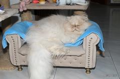 _DSC4494 (Adriano Clari) Tags: cat gatto pet animal breeder allevamento indoor interno adriano clari animale domestico gattino