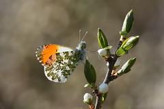 Blacklit Orange-tip (Robin M Morrison) Tags: orange tip orangetip backlit