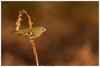 Goldcrest In The Evening Light