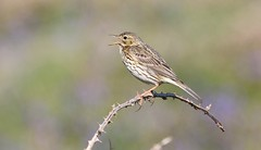 Meadow Pipit 230518 (5) (Richard Collier - Wildlife and Travel Photography) Tags: wildlife naturalhistory nature birds meadowpipit british wales pembrokeshire coth5