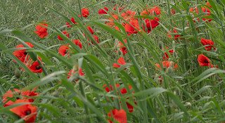 ....and some more Poppies...