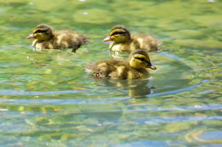 Springtime means baby ducks