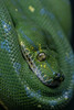 Green tree Python (lucasanthony8) Tags: ngc natgeo 105mm wildlife nature boa wild reptile gree tree python snake zoo macro color nikon d7100 nikkor light dark eye