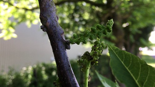 Black walnut (Juglans nigra) - flowers - June 2018