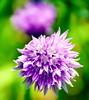 Twinkle Twinkle Purple Star (barbara_donders) Tags: natuur nature spring lente purple paars flower bloem green groen bokeh macro ster sprankelend mooi prachtig beautiful magical