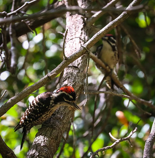 Nuttall's Woodpecker family Temescal Canyon Los Angeles California 094