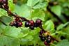 Black currant (Kapitalist63) Tags: flowers flora nature view look garden color berry colour light bright raspberries currant black blackberry