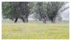 Yellow carpet (P_Hibon) Tags: belgië gent keuzemeersen bomen bos gras hooiland mist natuurgebied ochtend belgium landschap landscape trees grass yellow geel nationalreserve morning ghent