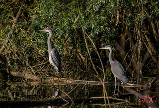 Grey heron Old & Young