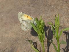 Dainty Sulphur, Colias eurytheme (Marv and Sue Elliott) Tags: 2018 inat coliaseurytheme texas butterfly daintysulphur possumkingdomstatepark