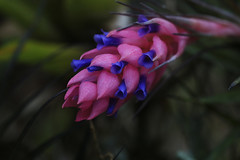 Clavel del aire (alestaleiro) Tags: flor bromeliaceae bromelia fiore flower macro garden nature natura natureza naturaleza alestaleiro tillandsia