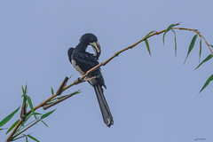 CALAO IN PULIZIA    ----    HORNBILL IN CLEANING     -----     EXPLORE (Ezio Donati is ) Tags: uccelli birds animali animals natura nature cielo sky alberi trees foresta forest africa costadavorio yamoussoukroarea