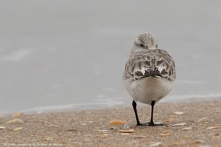 Bécasseau sanderling [Calidris alba]