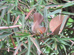 Macronus gularis (dhobern) Tags: 2018 china march xtbg xishuangbanna yunnan aves passeriformes timaliidae macronusgularis