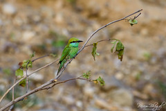 Green Bee-eater (PB2_2752) (Param-Roving-Photog) Tags: green beeeater bird wildlife nature jungle safari chilla rajaji nationalpark uttarakhand india birding birdphoography wildlifephotographer nikond7200 tamron150600