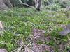 Hoya australis (tanetahi) Tags: asclepiadoideae apocynaceae hoya hoyaaustralis capebyron coast nsw newsouthwales australia groundcover succulent climber tanetahi