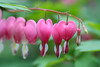 Asian bleeding-heart (Sarah Patel) Tags: flower spring pink colors life botanicals foliage