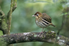 [Baturite] Short-tailed Antthrush (Chamaeza campanisona)