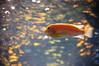 DSC_3115 (hollyzade) Tags: nikond40 nikon animal animals nature fish water zoo aquarium underwater swimming orange blue ontario canada bokeh