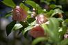 Japanese Rose (PHOTOGRAPHYSUAT) Tags: japan rose nikon pink green light beam flower leaf shadow dark petal nature tree 50mm dreamy handheld garden d4 tsubaki beautiful sweet bright