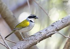 Pectoral Sparrow (Arremon taciturnus)
