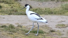 Avocet (ChrisPy63) Tags: nature outside nikond7200 nikon birdreserve rspbleightonmoss britishbird uk coast water wader avocet bird