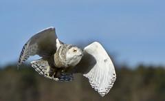 Snowy Flight (hd.niel) Tags: snowyowl owls nature flightshots spring lateseasonsnowies wildlife ontario photography goldenhour