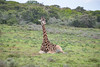 Resting (zenseas) Tags: africa sitting wild southafrica workingvacation resting amakhalagamereserve giraffe vacation workingholiday holiday giraffacamelopardalisgiraffa rest