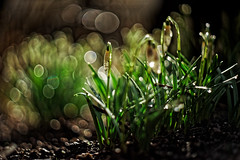 #192 - The first in the spring #2 / První jarní #2 (photo.by.DK) Tags: spring springbloom blossom firstblossoms blossoms springmood bokeh bokehlicious beyondbokeh bokehful snowdrop snowdrops oldlens legacylens manuallens manualfocus manual manualondigital vintage vintagelens visualpoetry wideopen wideopenbokeh shotwideopen sonya7 sonyilce sony sonyalpha a7 fullframe planar planar5014 czplanar carlzeiss carlzeissplanar carlzeissplanar5014 zeiss zeisslens cy contax contaxyashica artbydk photobydk