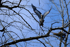 lift-off with the prize (marneejill) Tags: blue heron liftoff stick nestbuilding ancient