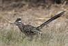 Greater Roadrunner (Alan Gutsell) Tags: bird birds photo alan nature wildlife photography canon texasbirds migration texas greater roadrunner greaterroadrunner southtexasbirds