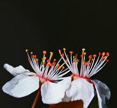 Just the Two (Robyn Hooz (away)) Tags: fiori melo macro tamron padova primavera march black nero sfondo stami pistilli petals petali
