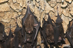 Batcave (morbidtibor) Tags: nepal pokhara cave batcave bat bats wildlife