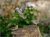 LR7-PGH55477 (JB89100) Tags: 2018 6kphotomode effetsspeciaux moineau oiseaux quoi