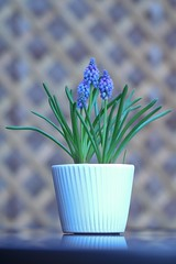 Currently my Favourite (haberlea) Tags: garden muscari flowers blue table mygarden plants nature pot outdoors green