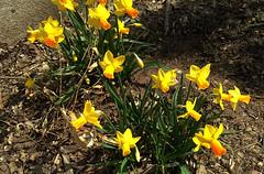 Yellow Daffodils in Staten Island, New York, USA. April 2018 (Tom Turner - NYC) Tags: perennial flower flowers plant nature spring yellow yellowdaffodils daffodils daffodil flowering tomturner statenisland newyork unitedstates usa nyc bigapple