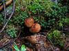 Sottobosco con funghi (giorgiorodano46) Tags: agosto2007 august 2007 giorgiorodano saintluc anniviers pioggia rain pluie valais vallese wallis svizzera suisse schweiz switzerland brushwood mushroom fungus