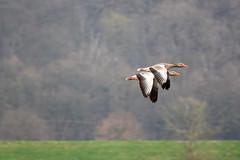 Wildgänse (waltsphoto) Tags: frühjahr vögel jahreszeit