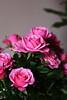 DSC_9090 (PeaTJay) Tags: nikond750 sigma reading lowerearley berkshire macro micro closeups gardens indoors nature flora fauna plants flowers bouquet rose roses rosebuds
