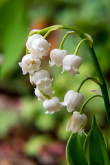 Lily of the Valley (agasfer) Tags: 2018 southcarolina greenville pentax k3 rokinon11485mm agfa closeup flowers