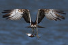 Awesome Osprey. (stonefaction) Tags: osprey birds nature wildlife eden estuary fife guardbridge scotland
