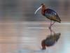 Ibis Reflection (Amy Hudechek Photography) Tags: nature wildlife bird whitefacedibis nikon d500nikon 600mm f4 colorado spring migration breeding colors